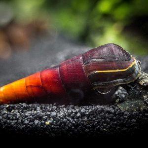 Cappuccino snail