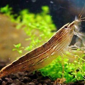 Filter Shrimp